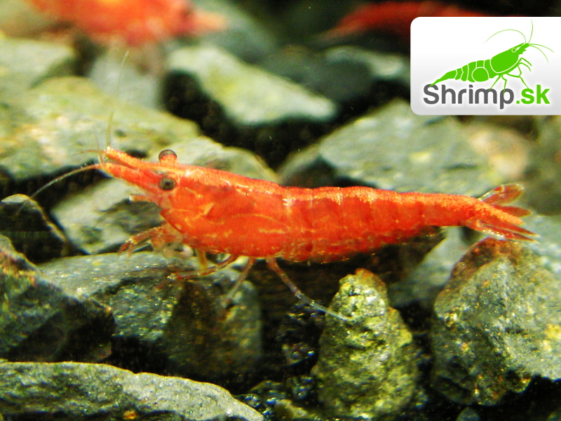 Red cherry 10 ks - Neocaridina davidi