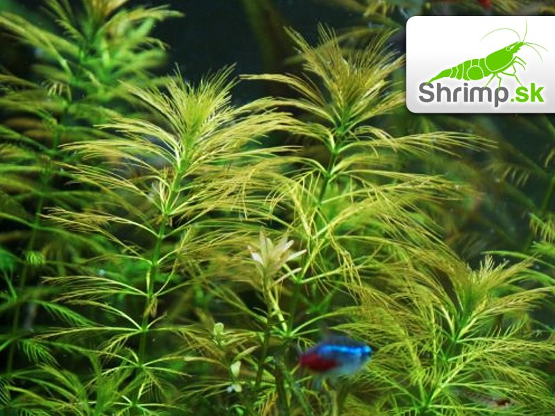 Myriophyllum aquaticum  - in vitro 500 ml