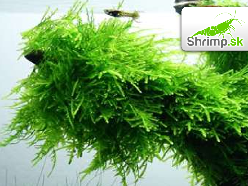 Spiky Moss - Taxiphyllum spec. - in vitro 100 ml