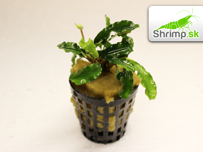 Bucephalandra Green wavy - košík 96a296f039f