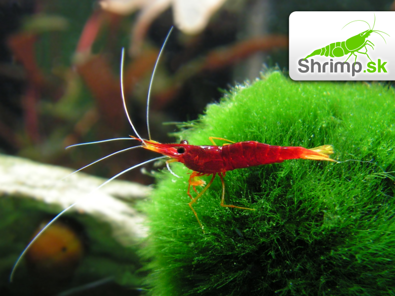 Sulawesi Yellow Nose - Caridina spinata 20 ks