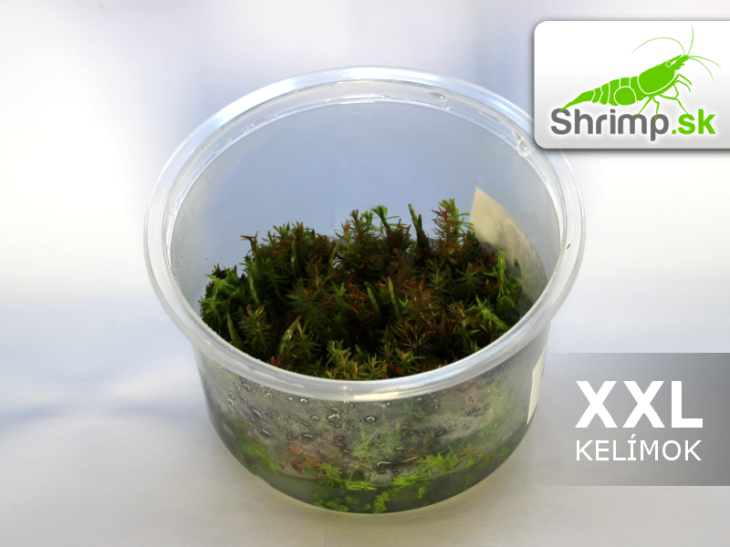 Rotala wallichii  - in vitro 500 ml